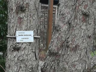 Taubenbaum