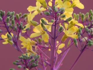 Zierkohl- Blüte